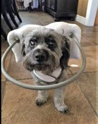 Halo For Blind Dogs Basil The Blind Dog Bounces Back With Help From His U0027halo U0027 Dog