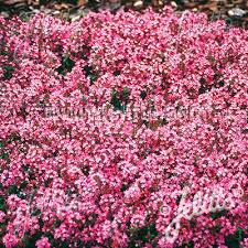 creeping thyme seeds for sale magic carpet ground cover seeds