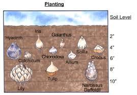 best 25 planting tulip bulbs ideas on pinterest tulip bulbs