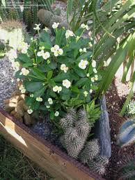 plantfiles pictures euphorbia crown of thorns christ plant