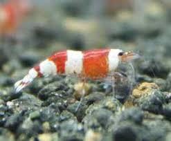 12 best ornamental shrimp images on cherry shrimp