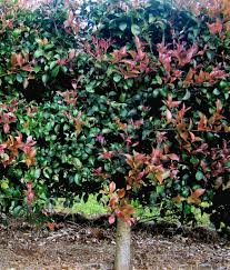 era nurseries buy trees online wholesale australian native australian native hedges gardening with angus