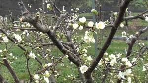 pruning flowering trees solidaria garden