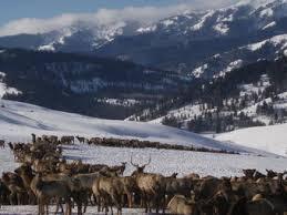 Bison Connect Department Of Interior Study Shows Pathways Of Disease Transmission Between Elk Bison