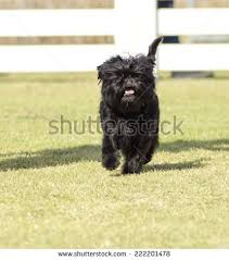 affenpinscher near me small young black affenpinscher dog short stock photo 222201478