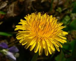 plants native to ireland taraxacum wikipedia