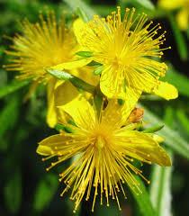 wisconsin native plants using georgia native plants a new favorite bushy st john u0027s wort