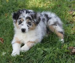 4 week old australian shepherd rfcc australian shepherds home facebook