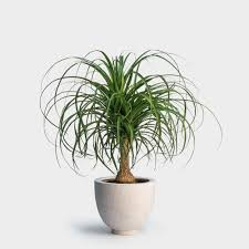 Large Indoor Plants High Light Large Indoor Plants Nyc Plant Delivery