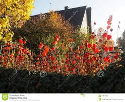chinese lanterns in cottage garden stock photo image 61823724