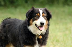 australian shepherd in california shepherds california