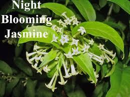 Fragrant Night Blooming Plants - cestrum diurnum day blooming jasmine yes day queen cestrum
