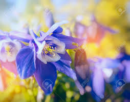 columbine flowers columbine flowers in sun light up stock photo picture and
