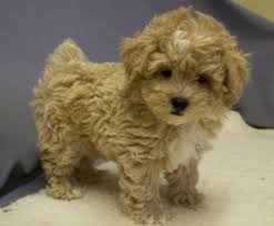 shi poo the shih poo a guide to the teddy bear dog certapet