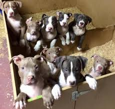 american pitbull terrier gotti razors edge gotti grey line razor edge pitbull terriers for sale u2013 fairfield