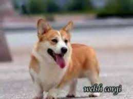 puppies for sale pa corgi puppies for sale in pa