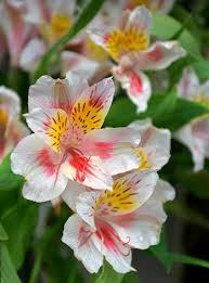 peruvian lilies history and meaning of peruvian proflowers