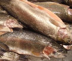 rainbow trout fish modern farming methods