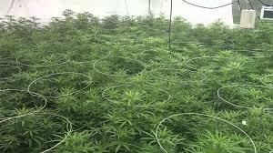 15 000 watt medical marijuana grow room youtube