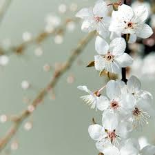 white cherry blossom blooming white cherry blossom branches farm fresh exports