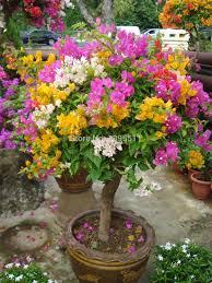 flower pot sale 100 original high quality 20pcs mix color bougainvillea