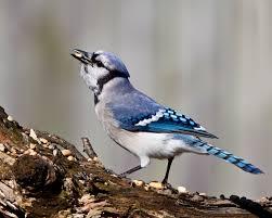 Florida Backyard Birds - backyard birds john groutnaturescapes music image with remarkable