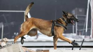 belgian shepherd sydney meet the new police dogs who have been recruited by nsw police to