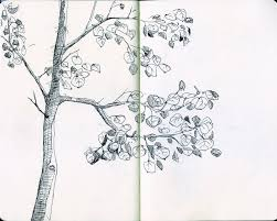 drawn tree aspen tree pencil and in color drawn tree aspen tree