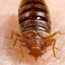 What Kills Bed Bugs And Their Eggs How To Get Rid Of Bed Bugs Ideal Home
