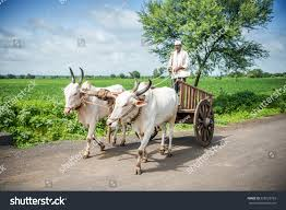 indian cart indian farmer riding bullock cart rural stock photo 528729763