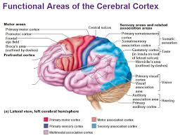 Which Part Of The Brain Consists Of Two Hemispheres Functional Areas Of The Cerebral Cortex