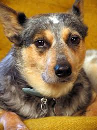 training a australian shepherd puppy the life expectancy of australian cattle dogs pets