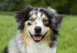 south florida australian shepherd home