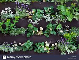 flowers and herbs in a woolly pocket living wall stock photo