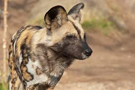 safari ltd african wild dog african painted dog lincoln park zoo