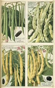 Bean Leaves Bed Bugs Phaseolus Vulgaris Wikipedia
