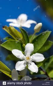 Snowflake Flower - wrightia antidysenterica known as coral swirl tellicherry bark