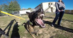 belgian shepherd x rottweiler rottweiler and berger malinois youtube