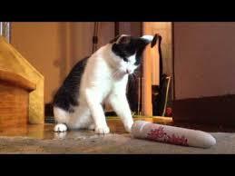 Meme Dildo - cat vs dildo cats know your meme