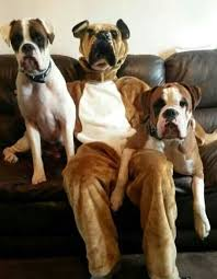 boxer dog funny 56 best boxer dogs images on pinterest boxers boxer dogs and