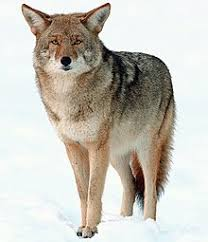 Can Coyotes See Red Light Coyote Wikipedia