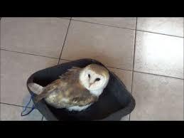 how to prepare barn owl food lookie bathing u0026 why barn owls don