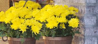 fall blooming annuals and perennials buying guide