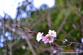 a japanese life cherry blossom the different kinds