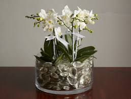orchid plants mini orchid plants packer new york city