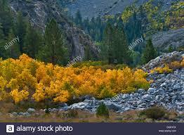 aspen trees fall tioga pass mono county california stock