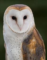 Where Does The Barn Owl Live The Owl U0027s Perch The Un Common Barn Owl