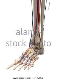 Foot Vascular Anatomy Vascular System Of The Foot Computer Artwork Stock Photo Royalty