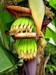 brazil native plants banana production in brazil wikipedia