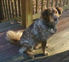 australian shepherd los angeles rescue australian shepherd adoption listings adopt an australian shepherd